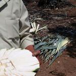 Freshly cut agave