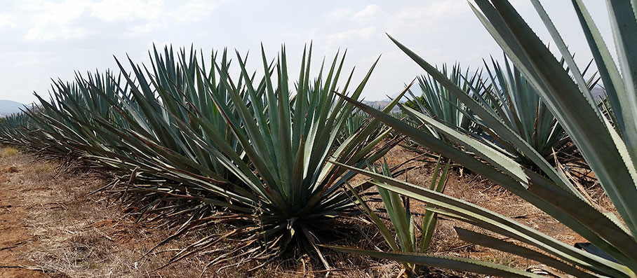 Tequila-Tour-agave-field1_908w