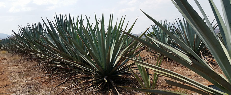 Artisanal Tequila Tasting Tour in Mexico