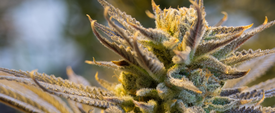 COMING SOON! California Cannabis Tours