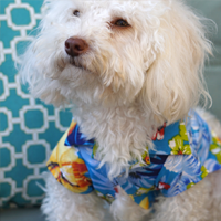 Fluffy white dog in Hawaiian Shirt